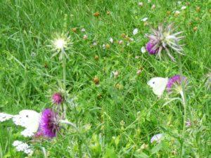 papillons et fleurs sauvage dans le parc régional du Morvan